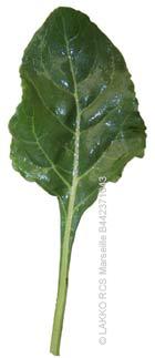 Blettes ou bettes sauvages - Comment cuisiner des feuilles de blettes ...