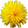 fleur de coustelline
