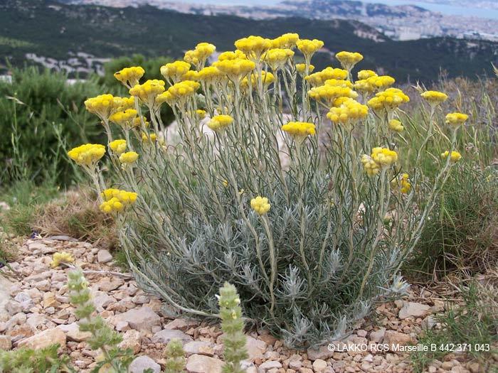 Immortelles Fleurs Jaunes Helichrysum Arenarium