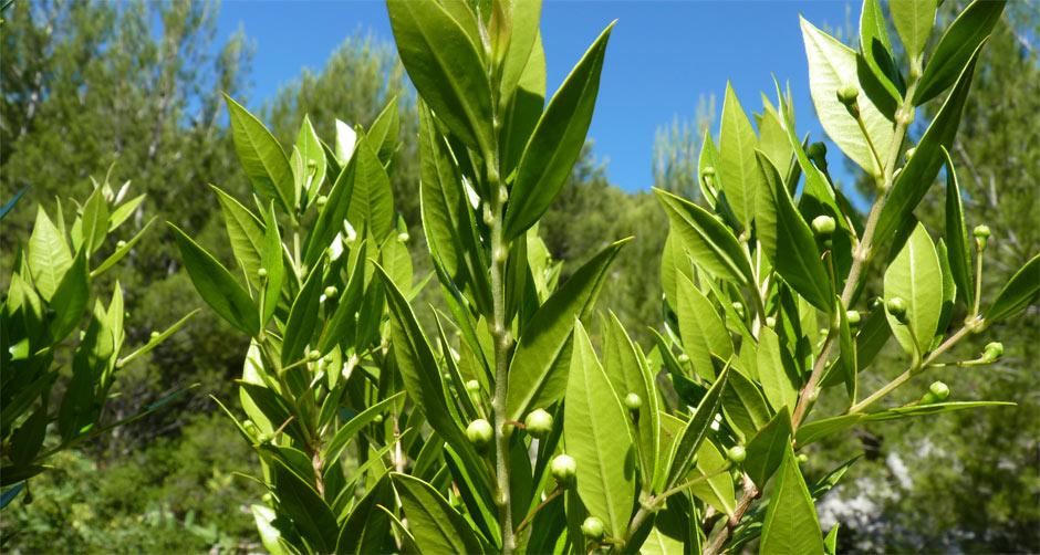 Cueillette et recette du myrte for Myrte arbuste